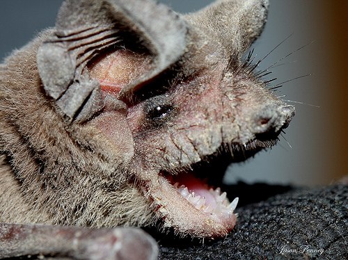 BSB bats: face of a mexican free-tailed bat