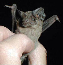 Mexican free-tailed bats. The scientific name for this bat is Tadarida brasiliensis