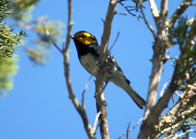 Online distance learning endangered bird in Texas: United States environmental destruction could be reduced with more people would learn how important endangered species are. The Golden cheeked Warbler is found in only 13 counties in Texas, nowhere else on Earth. Bear Springs Blossom Nature Conservation is protecting endangered birds as the Golden Cheeked Warbler. BSB bird protection at BSB Nature preserve to Keep nature beautiful with Nature conservation, reduce air pollution, climate change endangers endemic species as the Golden cheeked warbler, Water conservation, protection of all life, flora + fauna on Earth = human protection, conservation of all water on Earth = human protection, conservation of all soil on Earth = human protection through affordable conservation education online to keep nature beautiful. Population growth, more pollution, more drinking water, lower water quality, more energy, water conservation, Earth's spheres unbalanced, conservation is strongly needed. BSB-research + how to keep Nature beautiful + how to secure our future + how to have a better life! Sustainability and the environment. The meaning of sustainability is the idea of keeping life on Earth alive. To live sustainable is a global issue: sustainable living to keep nature beautiful. Earth is the only planet with liquid water we can use as home. To keep Earth beautiful we need to balance our actions, so our actions are sustainable, keeping the environment intact, helping the next generation. Sustainable acts protect our resources, a sustainable life style shows a  responsible person who cares. BSB offers news on environmental issues, to see the big picture, to have a better life!!