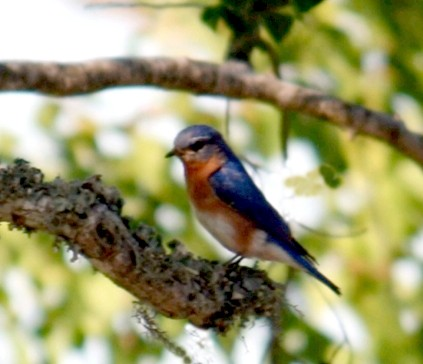 BSB Conservation of birds: blue bird sialia in Texas, bird seen at Bear Springs Blossom Nature Preserve in Hunt, Texas Hill Country