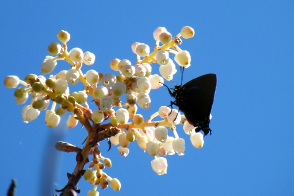 BSB butterfly feeding on madrone tree at Bear Springs Blossom nature preserve in the Texas Hill Country - understand why butterfly conservation is essential for human life