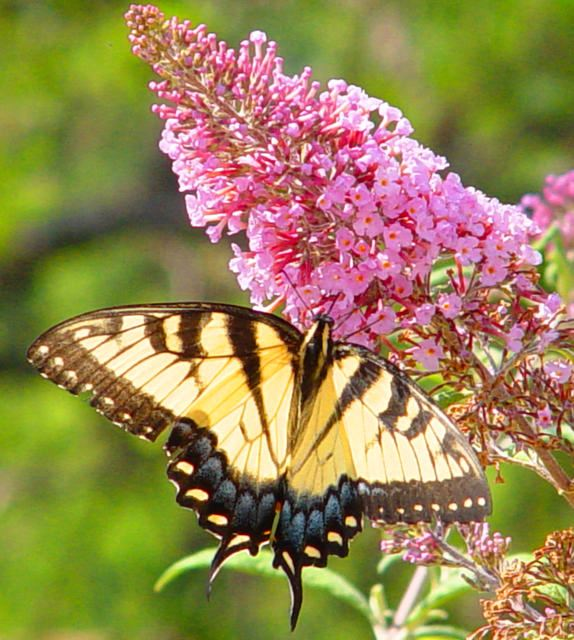 some native plants are good food for butterflies, part of an intact butterfly habitat, balancing flora and fauna