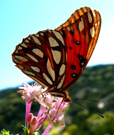 Butterflies are endangered by pesticides + air pollution. Burning fossil fuels increases air pollution
