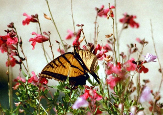 Swallowtail butterfly feeding on native plants at Bear Springs Blossom nature preserve in the Texas Hill Country. Characteristics differentiating the Papilionidae from the other butterfly families: presence of the osmeterium, a forked, fleshy eversible organ found in the prothoracic segment of papilionid caterpillars. Venation in the adult forewing of papilionids is characteristic. In swallowtails, the second anal vein, extends up to the wing margin and does not link with the first anal vein. These veins are fused in other butterfly families. The sclerites of the cervix are fused beneath the neck where the muscles for head movement are anchored. Butterfly conservation is part of human conservation