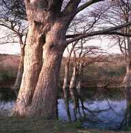 Cypress trees grow along the Medina River in Bandera County, natural tree along rivers