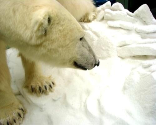 Science Earth oceans + seas: Because of climate change + global warming, severe weather ice bear or polar bear is an endangered species