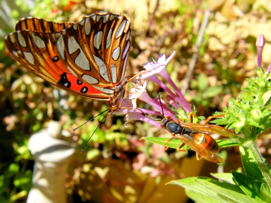 Conservation of butterflies: gulf fritillary feeding on blossom at<BR> Bear Springs Blossom Nature conservation preserve in the Texas Hill Country