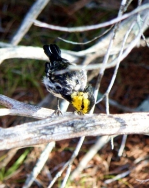 Golden-cheeked Warbler Setophaga chrysoparia GCW on juniper branches in its special habitat