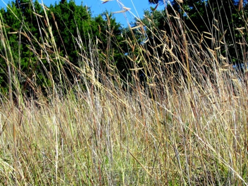 Texas has beautiful native grasses, that cover the land, slow down erosion, give food and shelter to many animals, clear the drinking water of humans, support springs, hold back carbon dioxide co2. Overgrazing destroyed the natural balance
