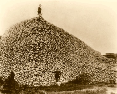 once Earth's prairies were home to millions of bison, also called buffalo. Human killed, murdered these animals, just to have fun and to decimate the food supply or native people