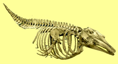 skeleton of a Beluga whale, once found in great numbers in Earth's oceans. But CO2 acidifies our oceans, overfishing killed many marine species, man made chemicals change the oxygen amount, creating dead zones, killing all sea life