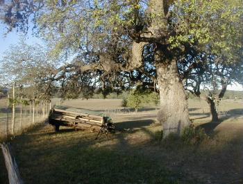 if not cut down, Live oaks can grow natural for 500 years and longer in Bandera County