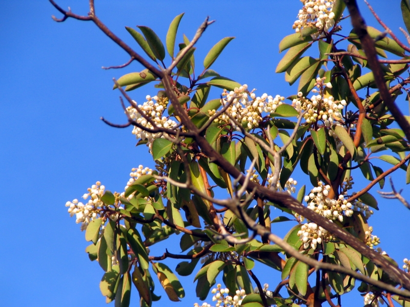 BSB Conservation of trees: madrone tree - arbutus xalapensis - Texas Hill Country, rare endangered tree, called indians leg, peeling tree, strawberry tree