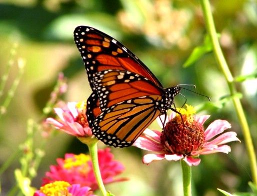 monarch butterfly pollinating flower in butterfly garden, danaus plexippus closeup - with a balanced biodiversity the food chain will work -  join us to learn why butterfly conservation is essential for human life