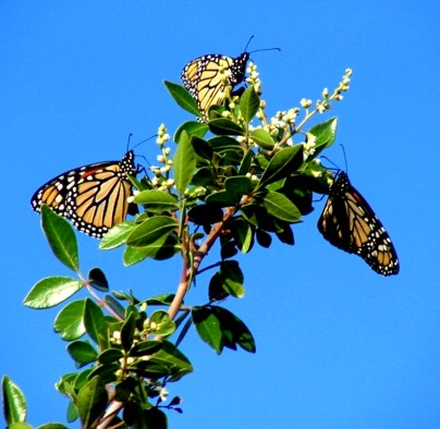 conservation education online: monarch butterfly feeding on sumac blossoms during migration photographed at Bear Springs Blossom Nature education trail in the Texas Hill Country