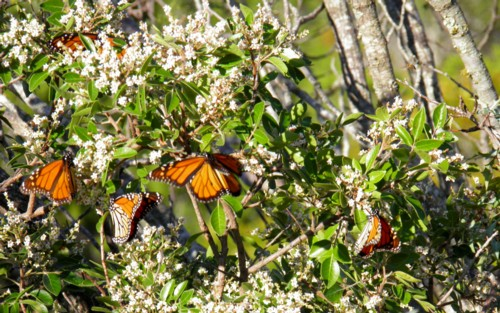 during Monarch migration Monarchs are looking for food, found here at an evergreen sumac at Bear Springs Blossom Nature Preserve on Oct 15 2011