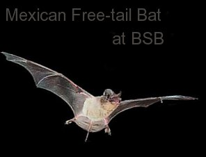 Bear Springs Blossom Bat conservation: Mexican free-tailed bat are eating insects at BSB Nature preserve