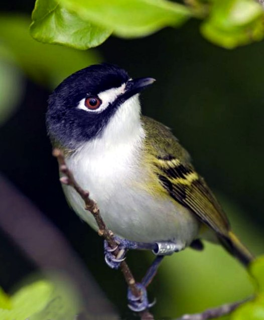 photo of black capped vireo, an endangered bird in the Texas Hill Country