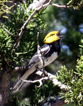 photo of golden cheeked Warbler, an endangered bird in the Texas Hill Country