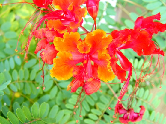 Marianne Bonenberger took this beautiful photo of our Pride of Barbados