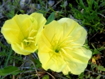 Yellow evening Primrose, wildflower photo taken at Bear Springs Blossom Nature Preserve in the Texas Hill Country