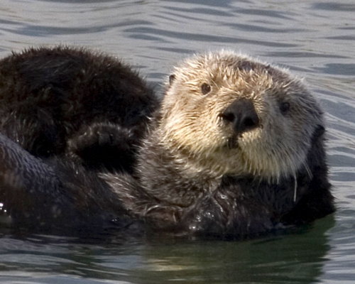 seaotter Saving Sea Otters