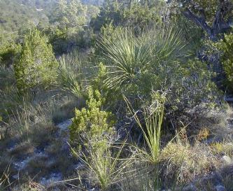 Sotols, junipers, natural grasses are native plants growing on dry caliche soils in Bandera County