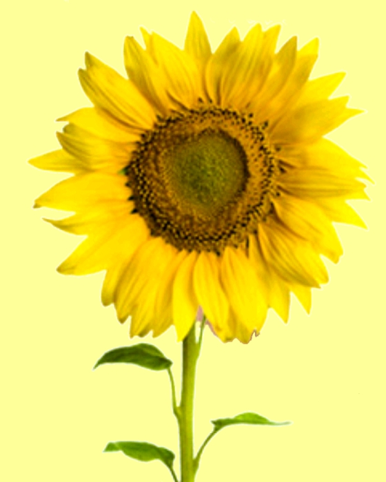 pollution kills. Sunflowers are often used to publish green solutions, green leaves for photosynthesis, a yellow flower for insects and birds. Science: pollution kills