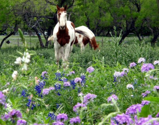 texas wildflowers on a wildflower meadow with horses watching blue, pink and wild flowers